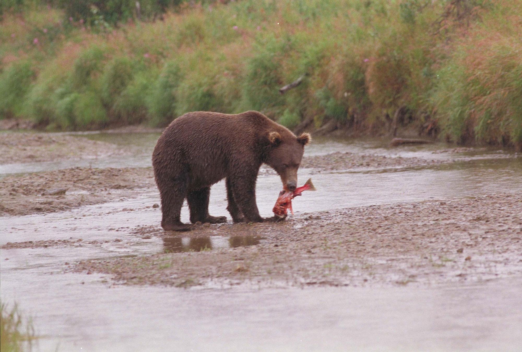 bear-eating-fish