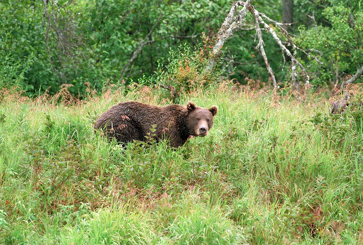 bear-in-grass
